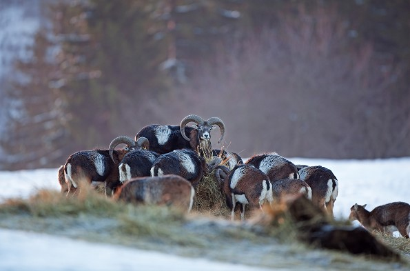 mufloni konopiste